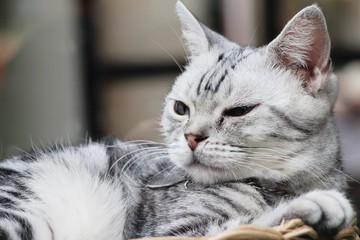 Cat gray cute is sleeping on basket