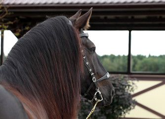 Percheron, 5 years old, a breed of draft horse, against farm background