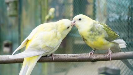budgerigar birds. parrots. budgie