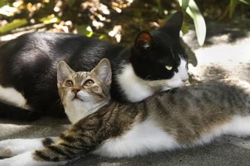 ハチワレの母猫とキジシロの娘猫