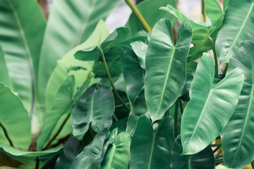 Philodendron green leaves background with copy space for text