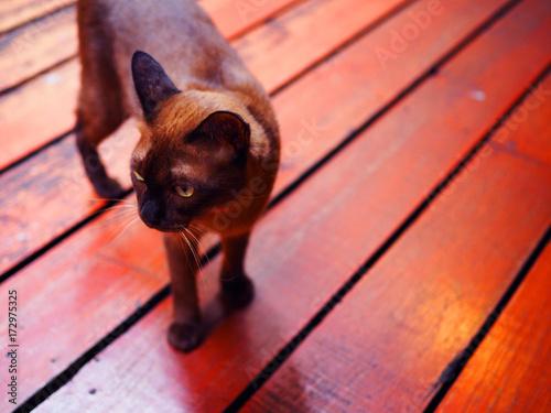 Dark brown fur Siamese cat standing walking on red orange wooden board stripe tile floor, under evening warm sunlight, bend its head, looking, perspective shot
