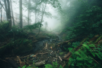 Deep fog in pine-tree forest
