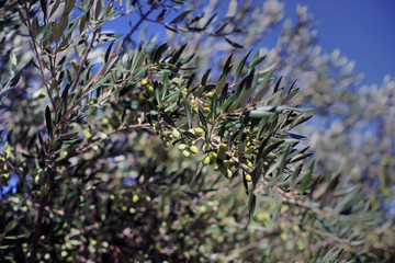 Oliven am Baum1