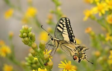 Mariposa diurna de la montaña palentina