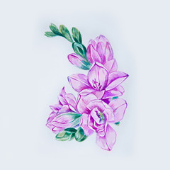 Sketch of a beautiful purple freesia flower on a white background.