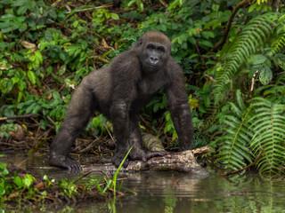 Gorilla in Gabon Endangered eastern gorilla in the beauty of african jungle  (Gorilla gorilla)