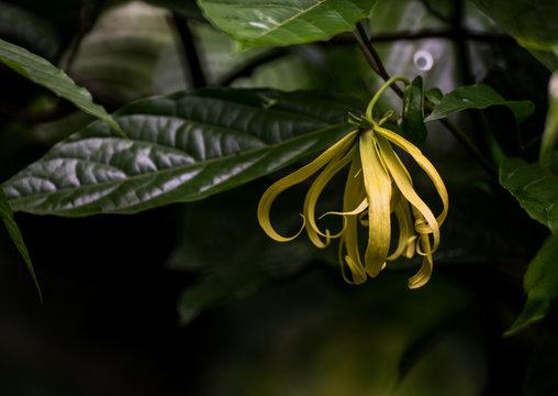 Perfume Tree or Ylang Ylang