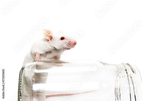 White laboratory mouse, glass jar