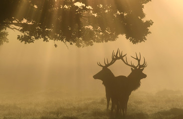 Two stag deer are seen through the mist at dawn during the annual rutting season in Richmond Park in London Britain
