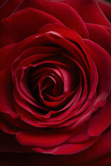 A single red rose in  close up