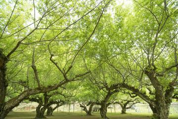 with plum trees orchard on doi angkhang,