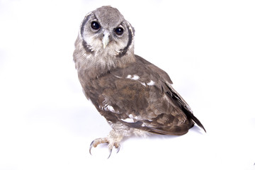 Wall Mural - Verreaux's eagle-owl, Bubo lacteus