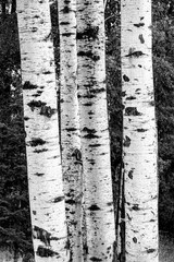 B&W of birch trees.