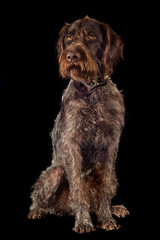 german wirehaired pointer on black background