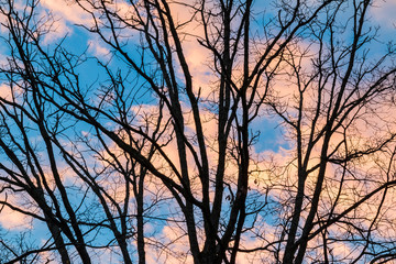 Bare branches of the oak tree on the background of sky with red clouds in evening