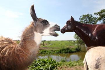 Llama meets plastic cow