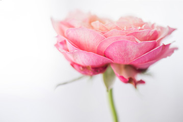 isolated pink rose flower