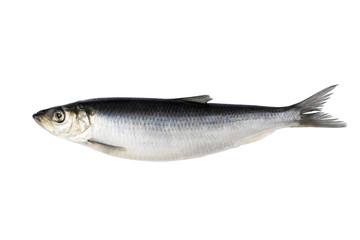 herring isolated on white background. Fresh Herring fish