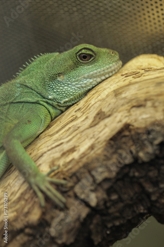 Green Lizard In A Terrarium Chinese Water Dragon Stock Photo And