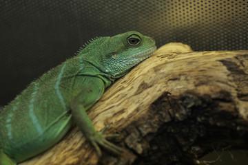 green lizard portrait - chinese water dragon
