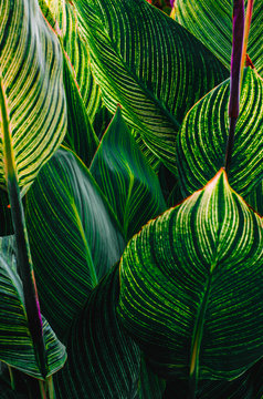 Abstract View of Canna Lilly  Leaves