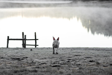 Bullterrier running in the wild
