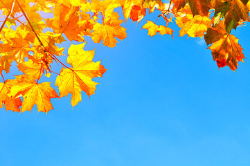 Autumn leaves background with space for text - colorful orange autumn maple leaves on the background of blue sky