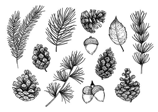 Hand drawn vector illustrations - Forest Autumn collection. Spruce branches, acorns, pine cones, fall leaves. Design elements for invitations, greeting cards, quotes, blogs, posters, prints