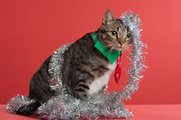Grey Tabby Cat playing in Christmas garland on a red background facing front