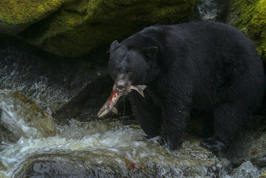 Alaskan Black Bear Hunting Salmon in a River. An Alaskan black bear wades in a river to capture and eat a migrating salmon in a wilderness area of southeast Alaska, USA.