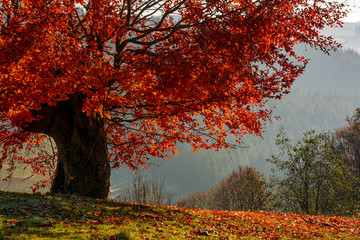 tree with red leaves on hillside with fallen leaves on grassy meadow. beautiful scenery on hazy autumnal morning in countryside