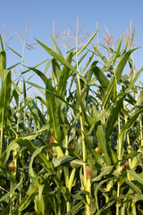 A corn field with multiple corn stalks with ears in the husk topped with silk. Blue sky is in the background. Photographed in natural light.