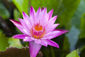 Brightly colored water lily