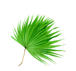 green leaf palm tree isolated on white background
