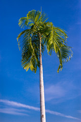 Sugar palm trees on the paddy field with clear bluesky