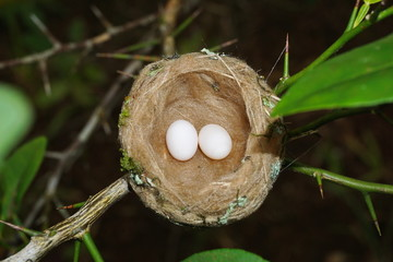 Hummingbird nest with two eggs, Panama, Central America