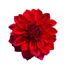 Fotobehang Dahlia Red Dahlia flower. Beautiful Dahlia Flower