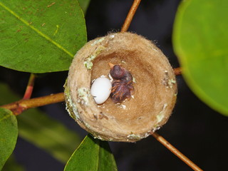 Nest of hummingbird with one egg on one baby, Costa Rica, Central America