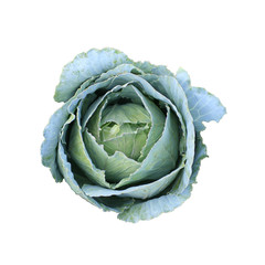 isolated Cabbage green plant top view. Graphic resource on white background