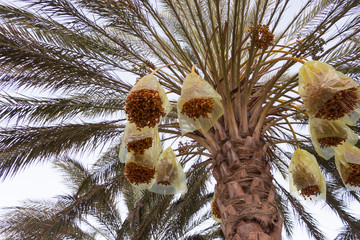 date fruit on a palm tree with protection from insects and birds