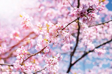 Pink Cherry Blossom or Japanese Sakura Flower are Blooming in Spring, Signature of Japan, Focus on center