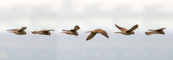 Printed roller blinds Bird Kestrel (Falco tinnunculus) hovering in flight. Composite of postions of bird scanning for prey whilst maintaining static relative to the ground