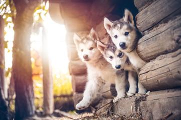 group of cute puppy alaskan malamute run on grass garden