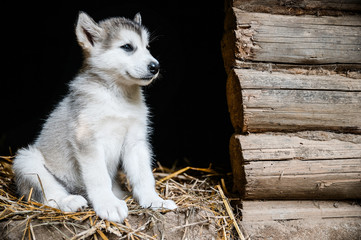 cute puppy alaskan malamute run on grass garden
