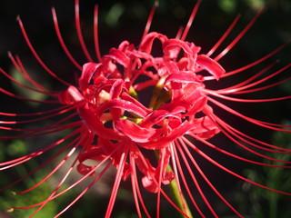彼岸花の赤い花
