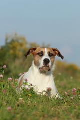 Cute mixed breed dog lying in the meadow