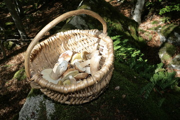 Harvest of Boletus mushroom or cep in forest