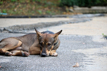 Thai black and brown and white color of stray dog laying down on the street. It is a dog that lives on the streets or temple and does not have an owner.