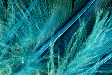 Native American Indian duck feathers detail.  This is a macro photo of colorful turquoise and green feathers from a Native American Indian costume.